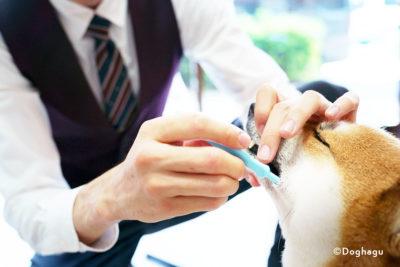 東京 世田谷区 文京区 犬のしつけ教室 ハグ で歯磨き訓練中の柴犬 終生お預かり・里親探し代行