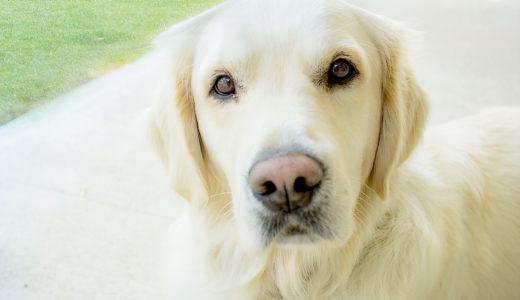 F1レトリーバーって何?介助犬・盲導犬として活躍の実用交雑犬