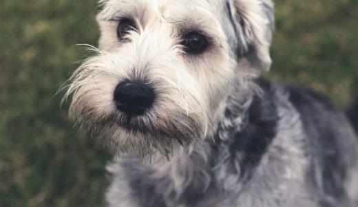 犬はなぜ食糞するの?食糞を辞めさせる方法とは?【いつ 治るの】