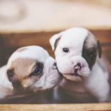 人気のある犬を飼いたい!初心者には飼うのが難しい飼ってはいけない犬種