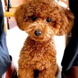 犬が飼い主さんの足の間に挟まりたい!乗りたい!理由とは?トイプードル