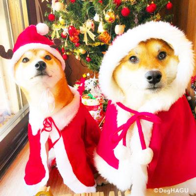東京の世田谷区と文京区にある犬のしつけ経室、犬のしつけハグのクリスマス犬 柴犬東京の世田谷区と文京区にある犬のしつけ経室、ドッグホテル犬のしつけハグのクリスマス犬 ワンコ 柴犬
