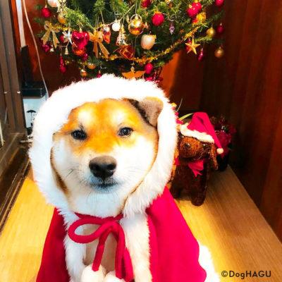 東京の世田谷区と文京区にある犬のしつけ経室、ドッグホテル犬のしつけハグのクリスマス犬 ワンコ 柴犬