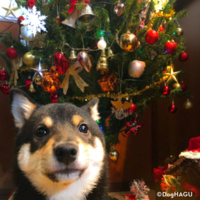 東京の世田谷区と文京区にある犬のしつけ経室、ドッグホテル犬のしつけハグのクリスマス犬 ワンコ