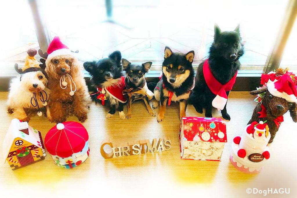 東京の世田谷区と文京区にある犬のしつけ経室、ドッグホテル犬のしつけハグのクリスマス犬 ワンコ プードル