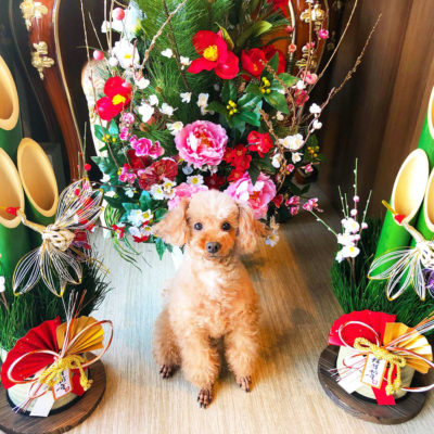 東京の世田谷区と文京区の犬のしつけ経室 ドッグホテル 犬のしつけハグのお正月犬 ワンコ プードル