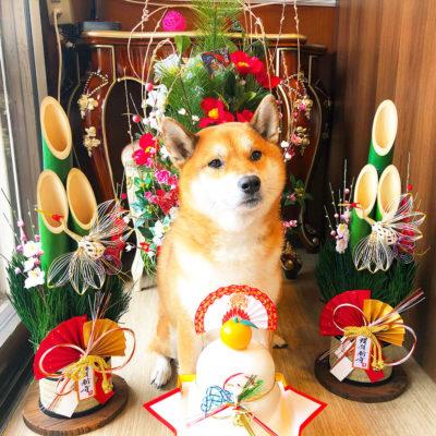 東京の世田谷区と文京区の犬のしつけ経室 ドッグホテル 犬のしつけハグのお正月犬 ワンコ 柴犬