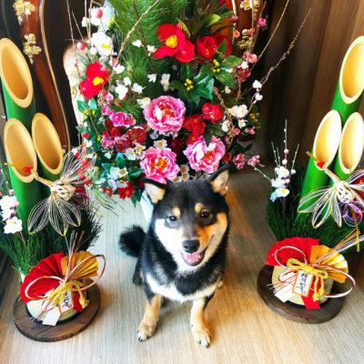 東京の世田谷区と文京区の犬のしつけ経室 ドッグホテル 犬のしつけハグのお正月犬 ワンコ