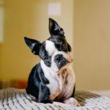 フレンチブルドッグってどんな犬?性格や特徴について