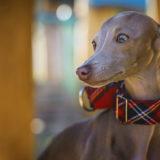 イタリアン・グレーハウンドってどんな犬?性格や特徴【 飼いやすい】