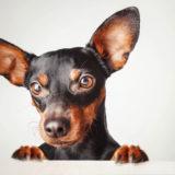 ミニチュアピンシャーってどんな犬?性格や特徴は?