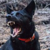 犬が車が通ると吠えるのはなぜ?辞めさせる方法は?犬の散歩や外出の時の対処法