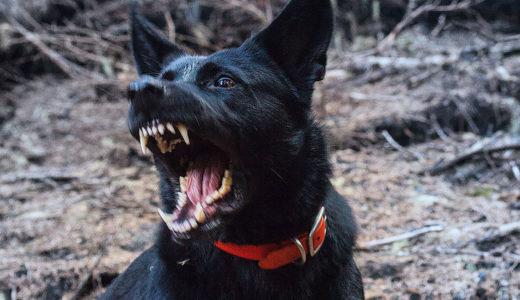 【ドックトレーナー監修】犬が車が通ると吠えるのはなぜ?辞めさせる方法は?犬の散歩や外出の時の対処法