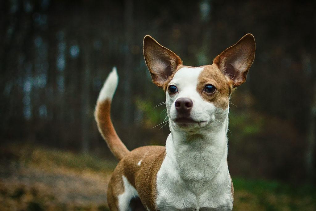 犬の去勢オペはいつまでに済ませるべき?術後の注意点は?