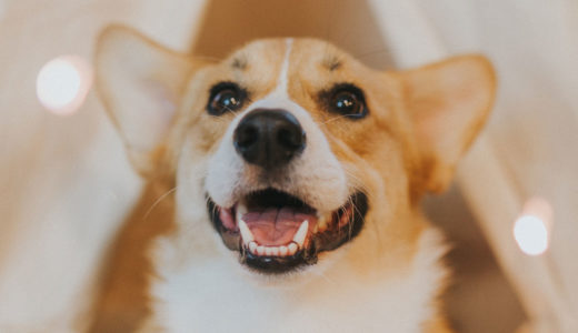 犬のコーギーについて知りたい!どんな性格?飼いやすい?