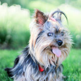 犬は楽しくなくても笑顔を見せる?|カーミングシグナルとは?