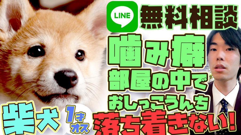 【柴犬】噛み癖・トイレの失敗・落ち着きがない・人前で寝ない【LINE@犬の無料相談】