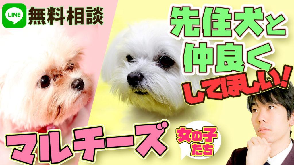 【マルチーズ】2ヵ月女の子と1歳9か月の女の子 新しく迎え入れた犬と先住犬がうまくいかない 仲良くする方法