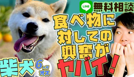 【興奮】柴犬、6ヵ月、オス、食べ物に対して興奮するヤバイ!柴犬の本能!執着!