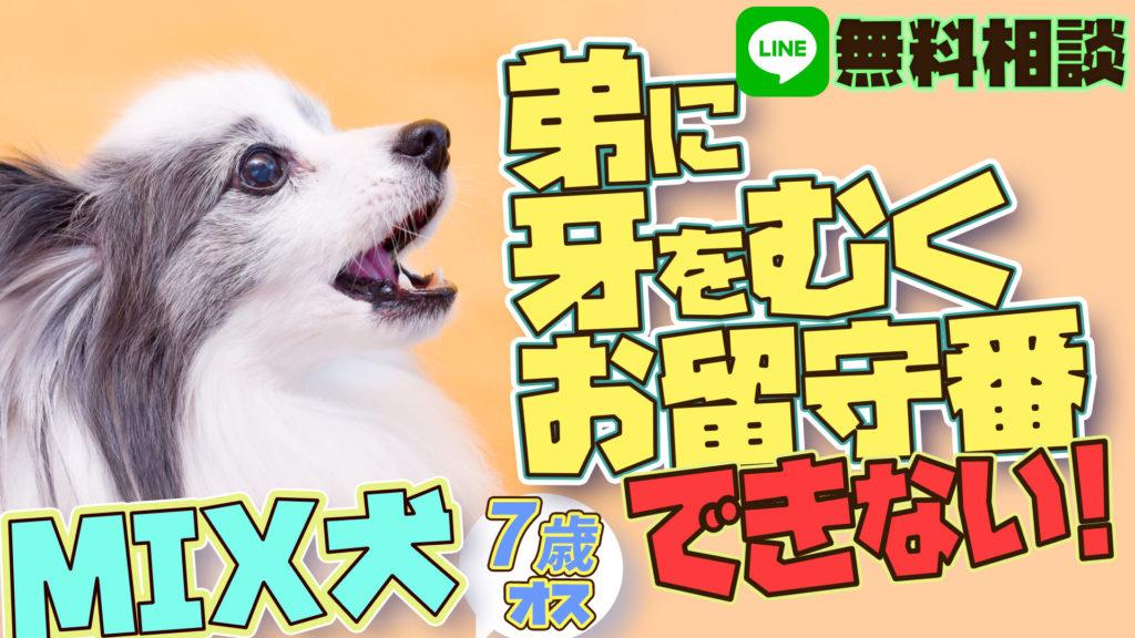ミックス犬【パピヨン×チワワ】弟に牙をむく、吠える お留守番が出来ない