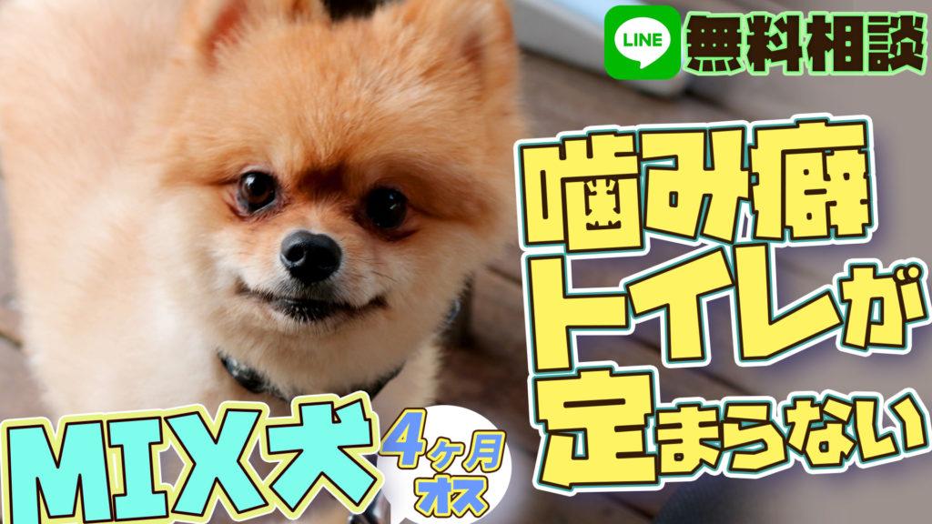 【MIX犬(マルチーズ×ポメラニアン)】4ヶ月 オス 幼犬は歯が痒い?噛む時の対処法 トイレが定まらない時の教え方