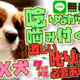 【危険】人を狙って噛みに来る!MIX犬(キャバリア×狆)【飼い主困惑】