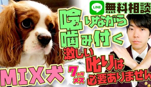 【危険】人を狙って噛みに来る!MIX犬(キャバリア×狆) 3ヶ月 メス 叱りが効かない 【飼い主困惑】