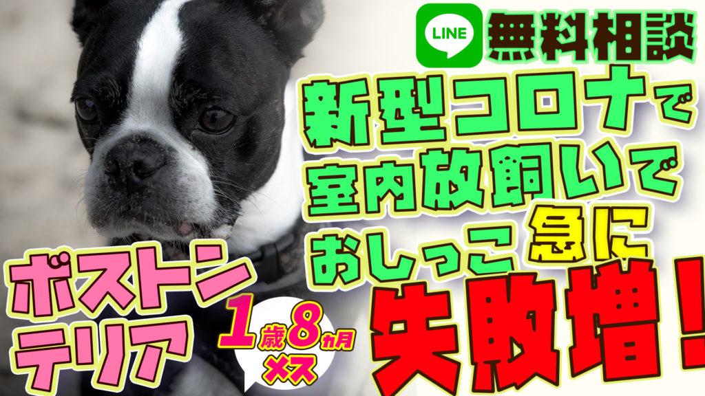 【悲惨】緊急事態宣言中の放し飼い!ボストンテリア犬 ステイホームするようにってから排泄を失敗を急にするようになった!