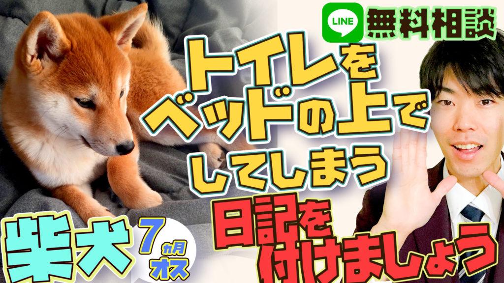【トイレをベッド化!】柴犬 7ヵ月 オス トイレをベッドの上でしてしまう【おしっこ我慢してます!】