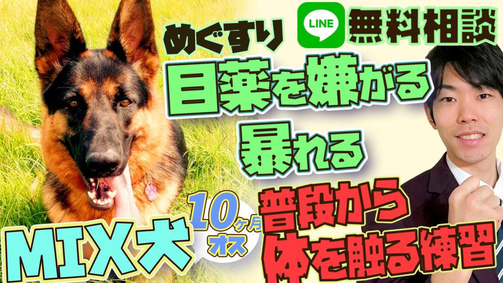 【暴れる】雑種(柴犬×シェパード?) 10ヶ月 オス 目薬が出来ない!!