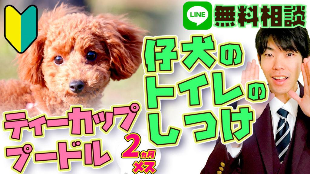 【仔犬のトイレのしつけ】ティーカッププードル 2ヵ月21日 メス 飼い主デビュー 【初心者向け】