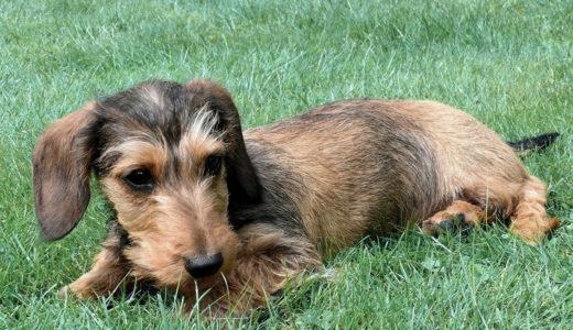 ミニチュアダックスフンドの主な病気|犬の寿命を延ばす方法