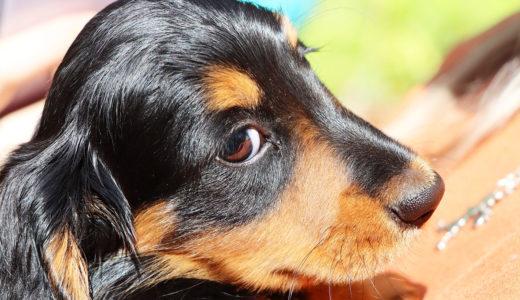 【ドックトレーナー監修】ミニチュアダックスフンドの飼い方・しつけの解説!|どんな犬種?