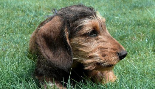 ミニチュアダックスフンドの性格や身体の特徴|犬の飼い方 【犬の図鑑・犬の種類・犬種】