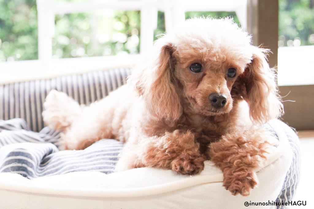 世田谷区と文京区犬のしつけ教室おやつなしのしつけの「犬のしつけハグ」愛犬:かぐや