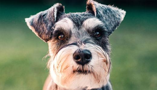 ミニチュア・シュナウザーってどんな犬?性格や飼いやすさは?