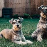 ミニチュア・シュナウザーの飼い主が気を付けるべき病気