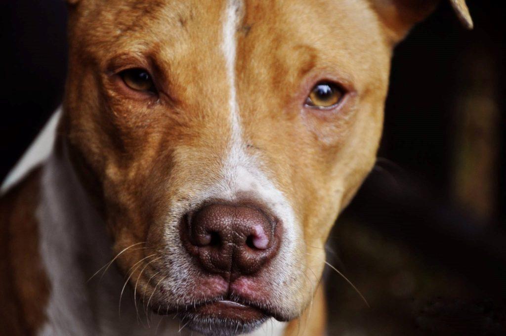ピットブルは飼い主ですら手に負えずケガや死亡事故を起している闘犬pit bull
