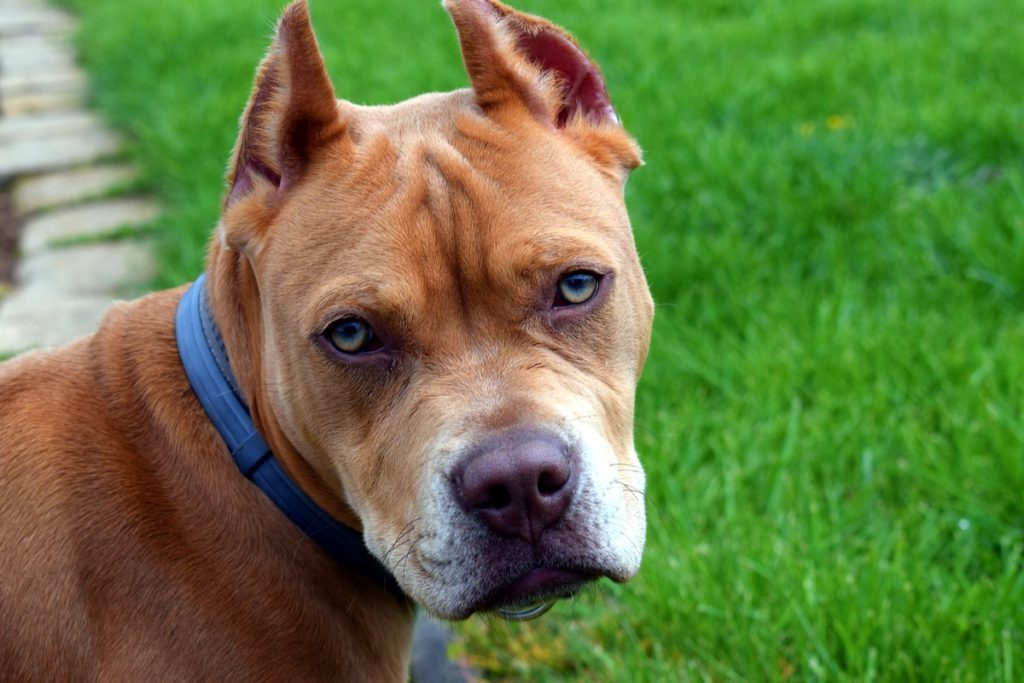 カムデン君を襲った犬は凶暴と言われるピットブル