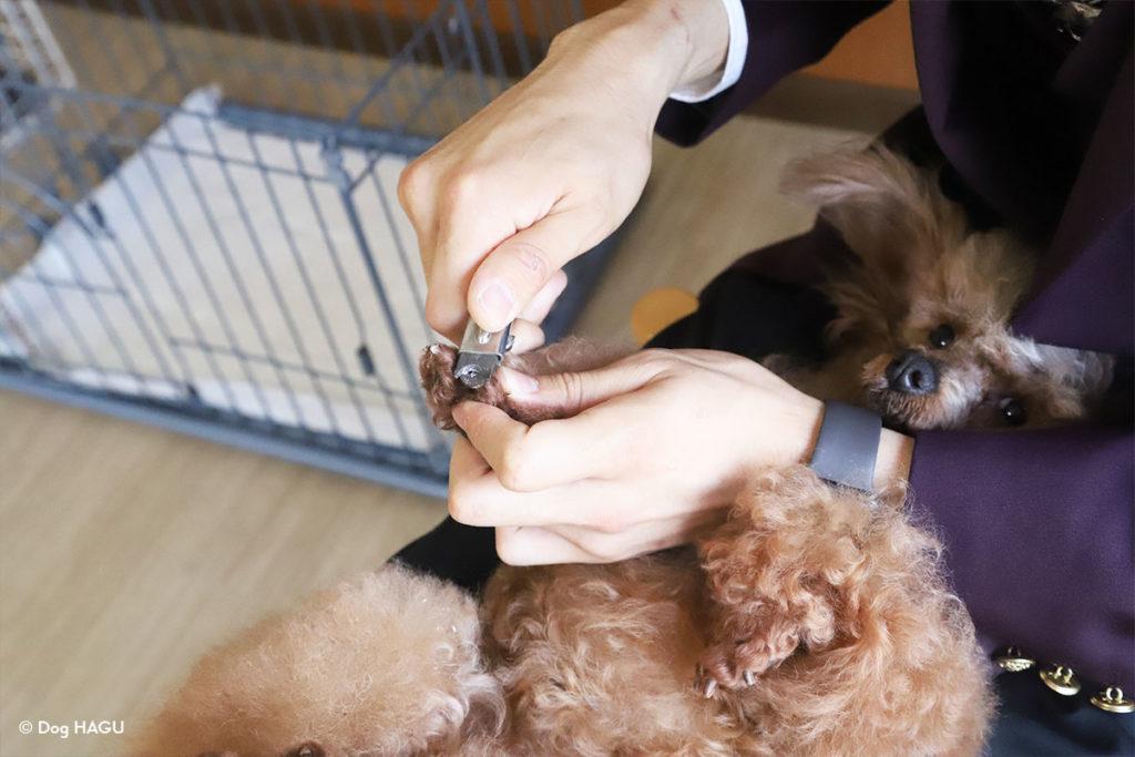 【ドッグトレーナー監修】犬の爪切りのコツ|頻度・出血対策・楽に切るポイントなど 東京の文京区の犬のしつけ強室で爪を切るトイプードル