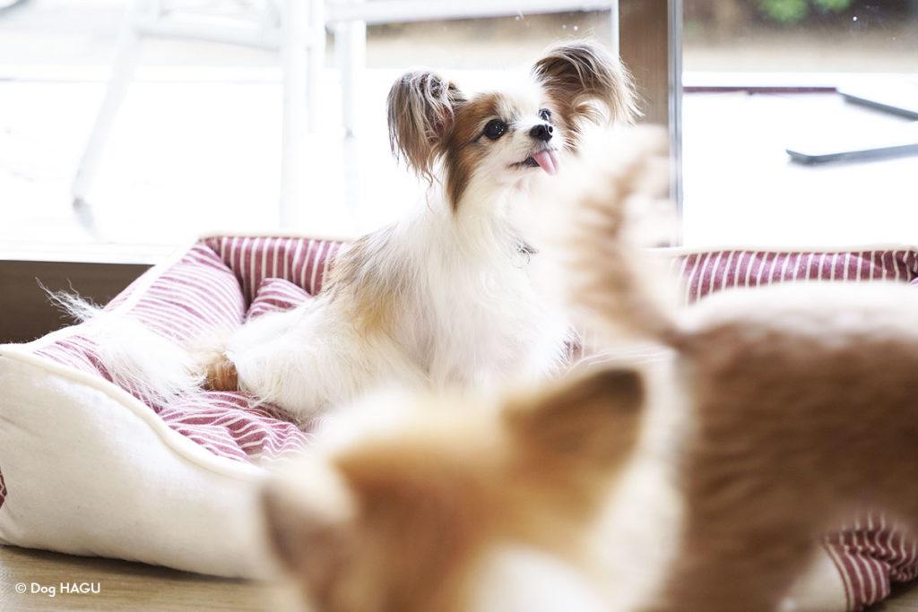 犬がついてくる現象が発生しやすいのは何歳くらい?