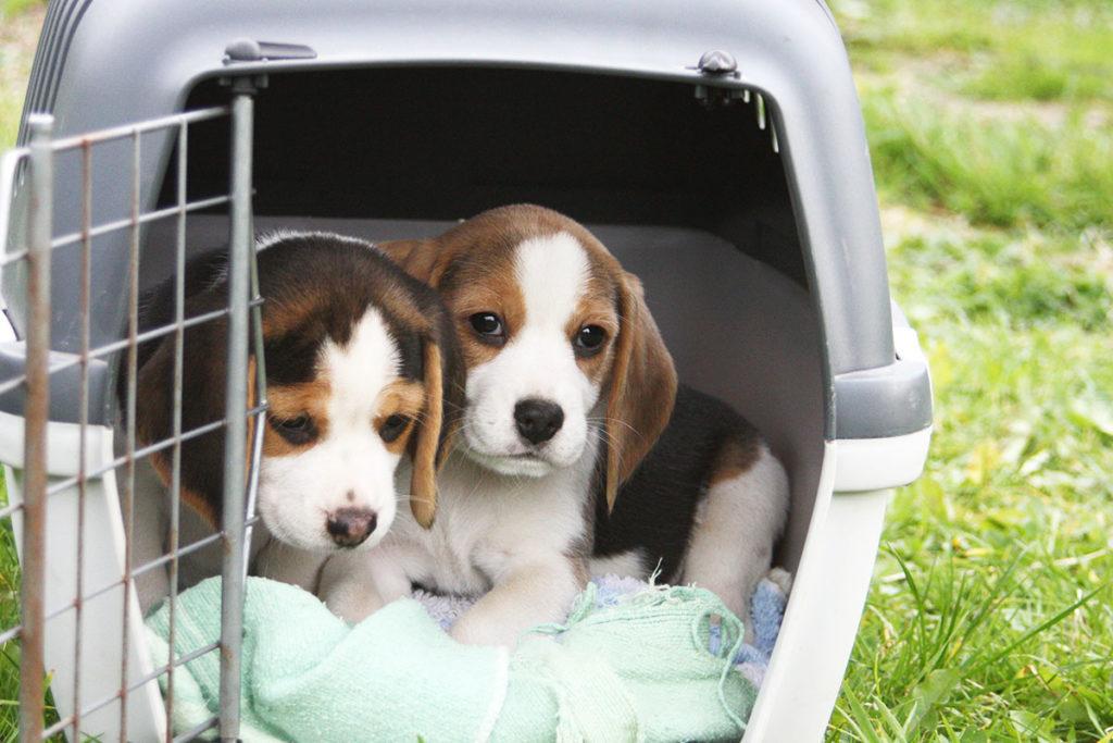 【犬のしつけ専門が家解説】自分で出来る!クレートトレーニング【犬を飼うのがはじめての方向け】