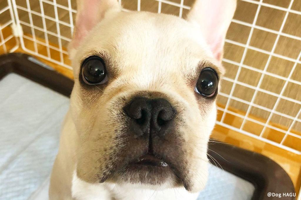 東京の世田谷区と文京区の犬のしつけ教室 「犬のしつけハグ」で訓練中犬の「吠える」をちょっとしたしつけ・環境変化でコントロールしましょう