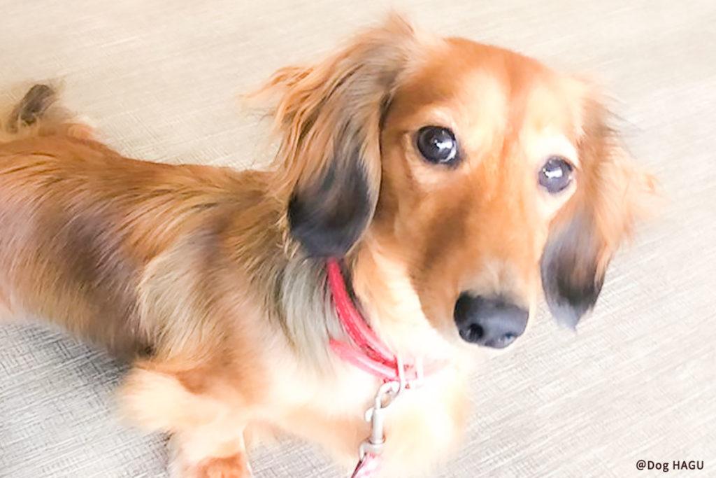 東京の世田谷区と文京区の犬のしつけ教室 「犬のしつけハグ」で訓練中犬が吠える原因が分かったらしつけなどで対応できるかもしれません