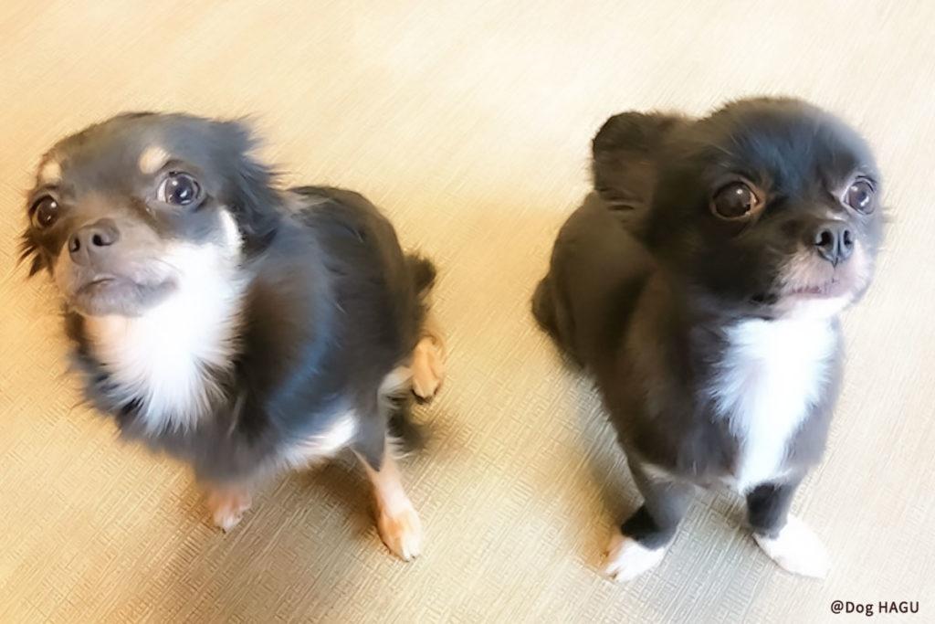 東京の世田谷区と文京区の犬のしつけ教室 「犬のしつけハグ」で訓練中しつけが大変?よく吠える犬種とその起源