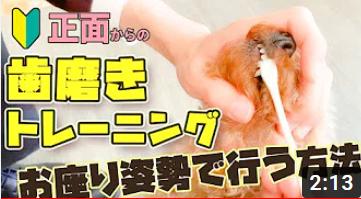 【ドッグトレーナー解説動画付き】犬の歯磨きトレーニングの正しい方法!~お座りの姿勢で正面から編