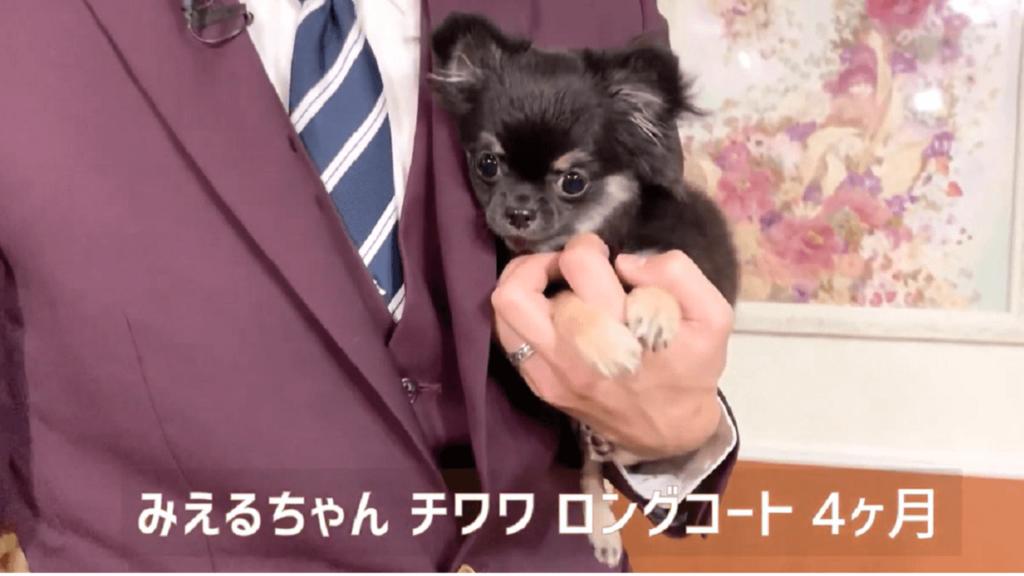 東京都文京区の犬のしつけハグで抱っこされているチワワのみえるちゃん