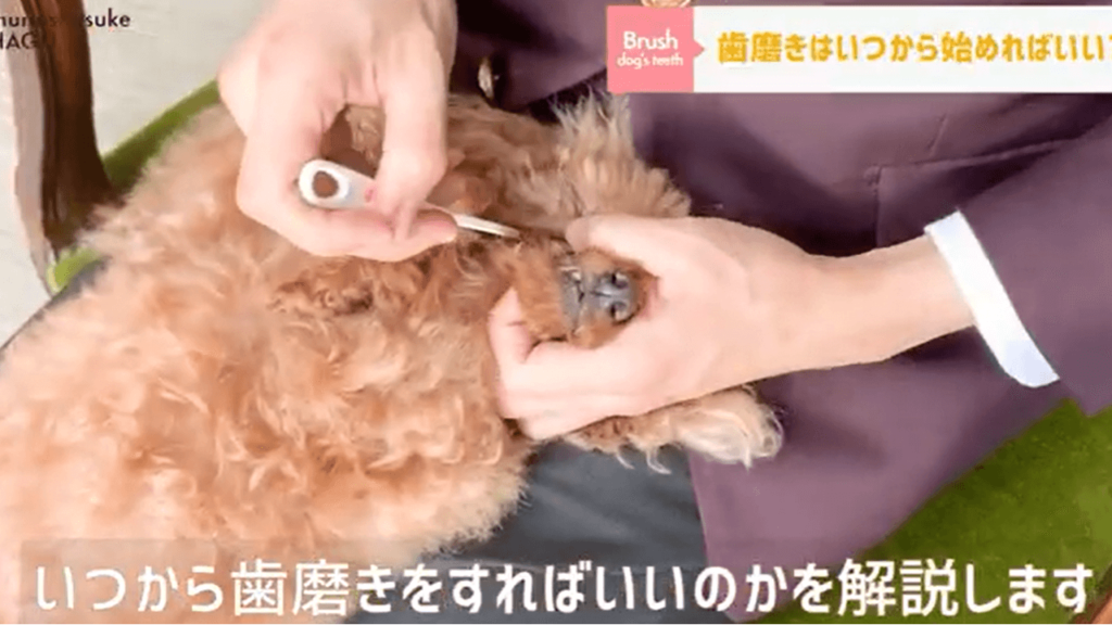 東京都文京区の犬のしつけハグでドッグトレーナーが犬の歯磨きをしている