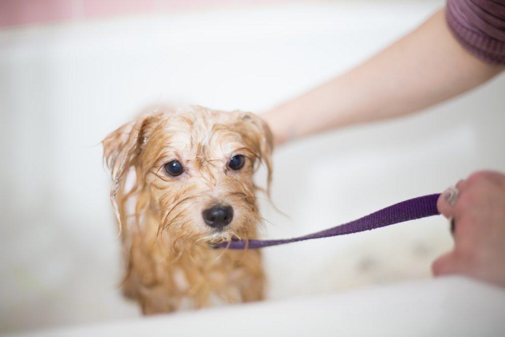 嫌がる犬に風呂・シャンプーをする方法は?お風呂の頻度はどれくらいがいいの?【まとめ記事】