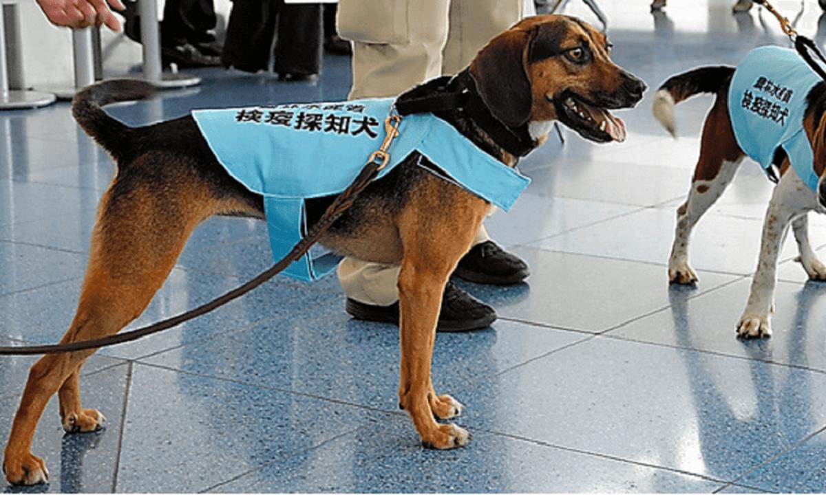 羽田空港で仕事をする検疫探知犬